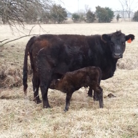 First calves of the spring are always an exciting thing.