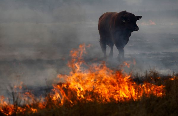 texas-wildfires-2011-cow-fire_34903_600x450